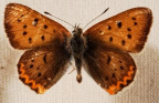 12-62 Dorcas Copper Butterfly